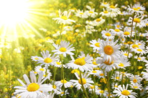 sunshine and daisies